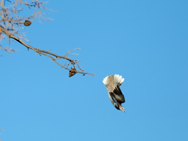 A White Winged Dove dives off a branch for some quick airspeed