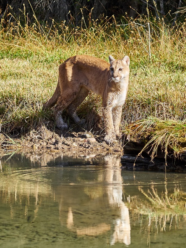 A full grown Mountain Lion.