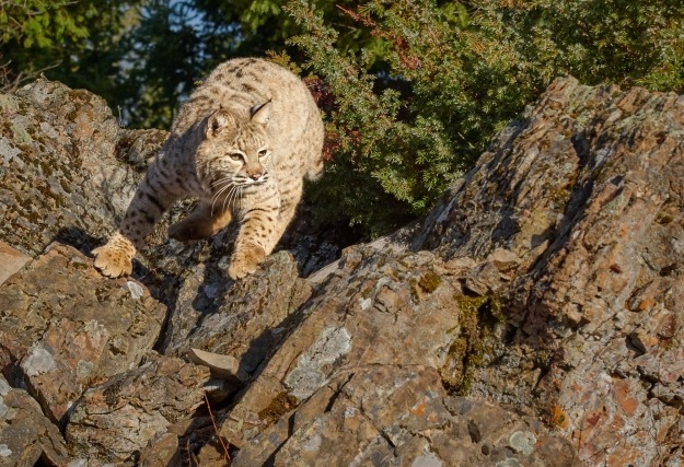 The Bobcat looks like a big domestic cat, but I wouldn't want to try to pet one.