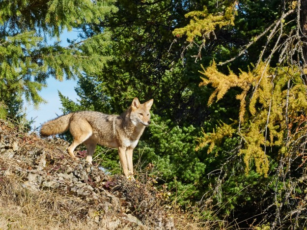 A coyote takes in the area.