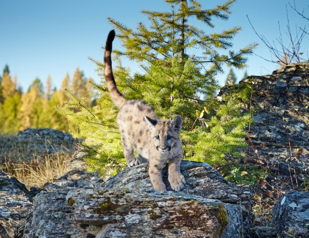 Three month old Mountain Lion cub.