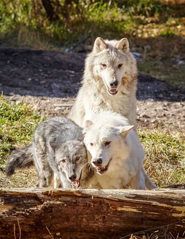 There's a certain attitude visible with the wolves when they're in a pack.