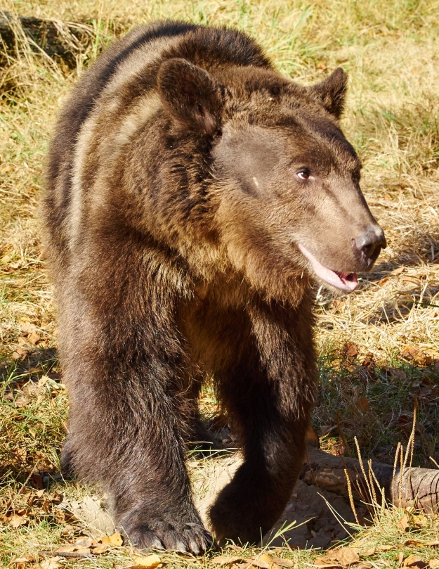 This is Bruno, an adolescent Grizzly Bear.  It would not have been pleasant had he gone diva on us...