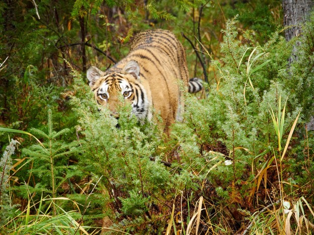 A Siberian Tiger watching from the brush.