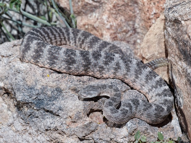 A beautiful Tiger Rattlesnake. Their venom is the most toxic among rattlesnakes and the most toxic in North America, but the amount they inject is small, so they are not particularly lethal to humans.