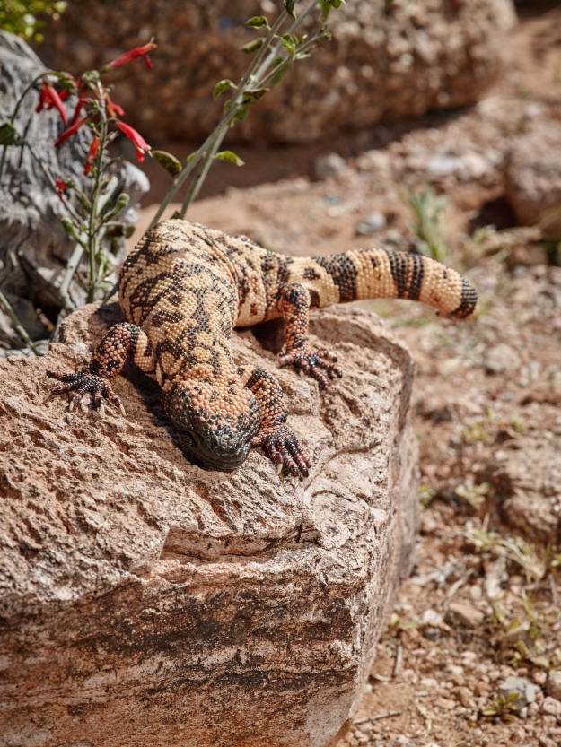 The Gila Monster - One of two venomous lizards in North America.