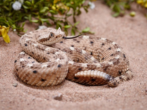 The Sidewinder is quite a bit smaller than the other rattlesnakes