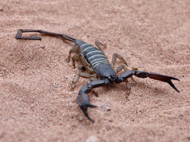 The African Black Flat Rock Scorpion