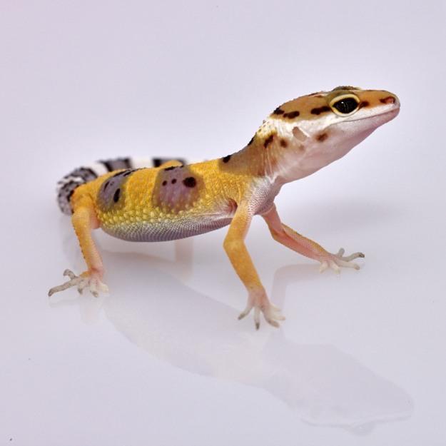 Tiger Gecko