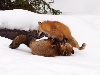Red Foxes having a discussion
