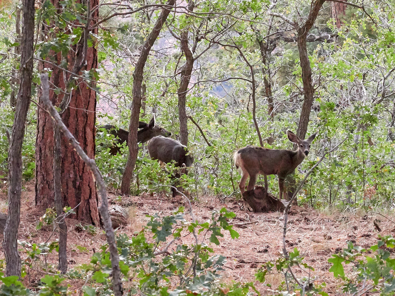 Grazing Mule Deer